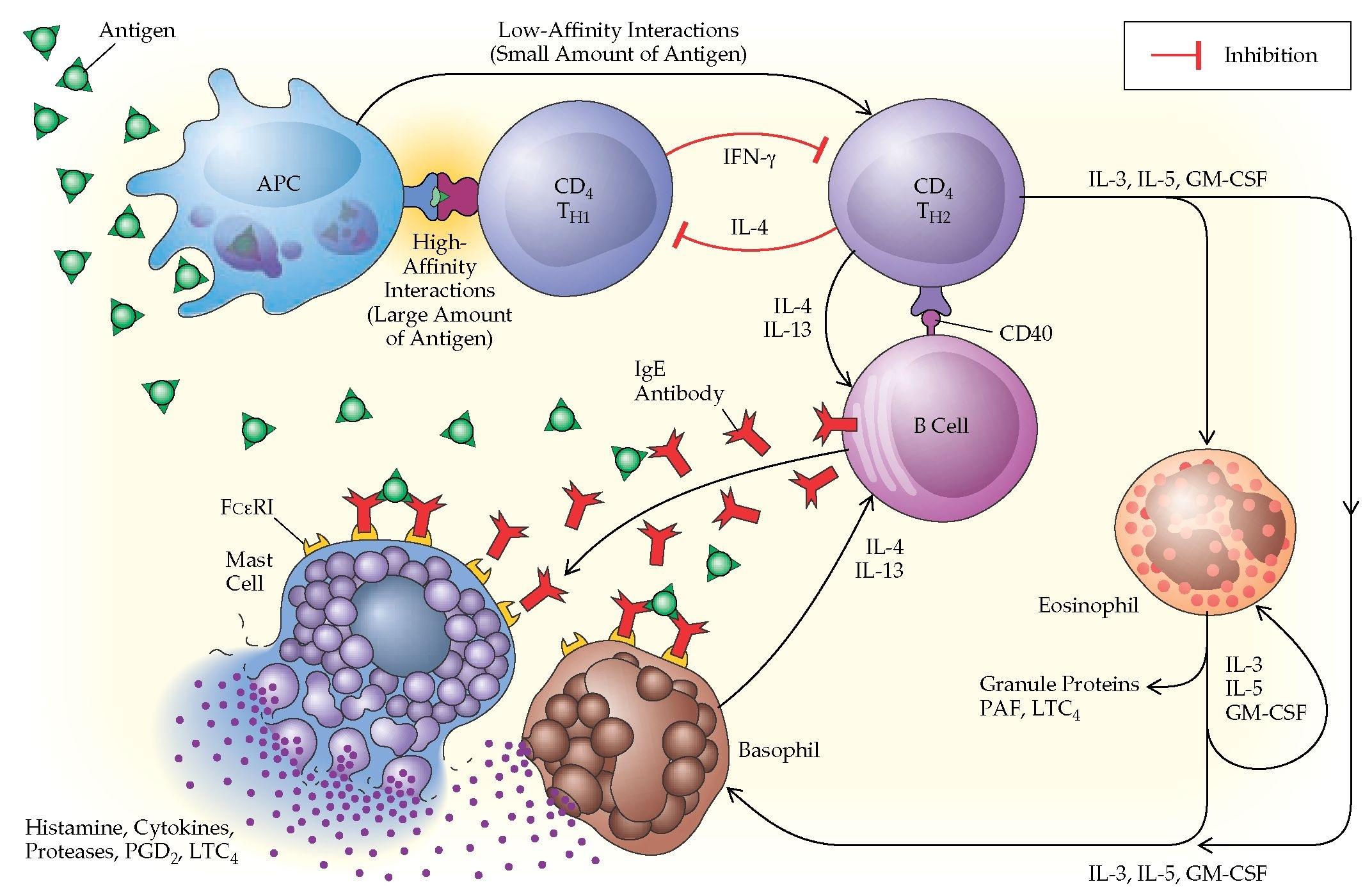 Молекулярная схема возникновения аллергии