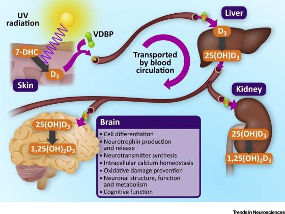 Витамин D и головной мозг