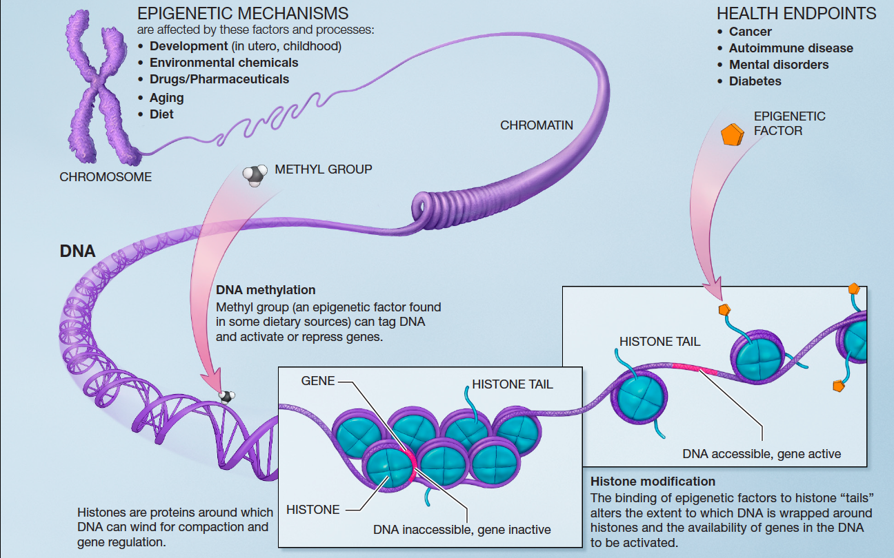 Стресс влияет на иммунитет и экспрессию генов