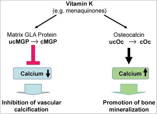 схема защиты витамина К от сердечно-сосудистых заболеваний