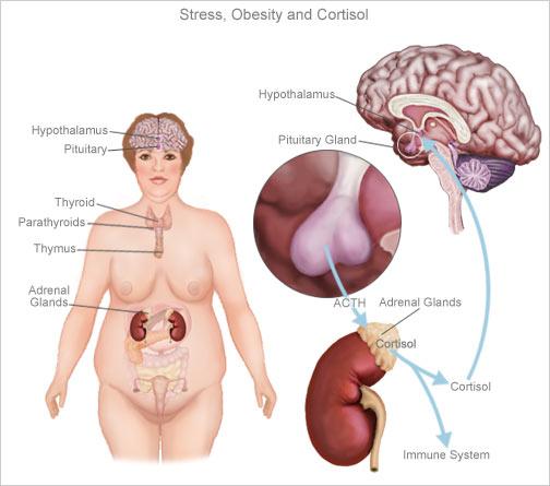 Кортизол при стрессе способствует увеличению веса тела