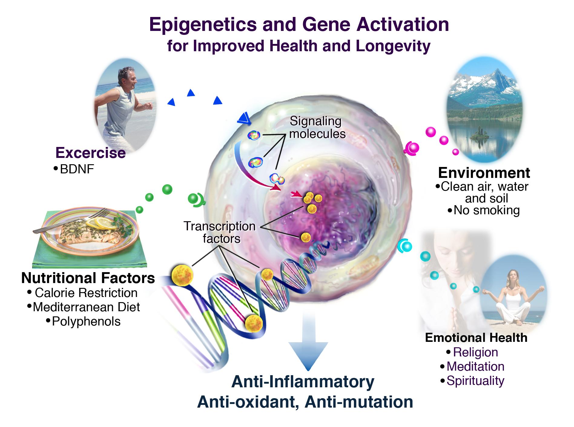 Внешние факторы, положительно влияющие на здоровье с помощью эпигенетики