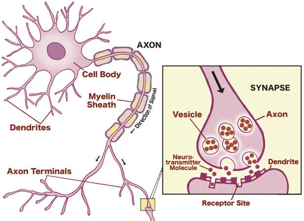 Связь между нейронами мозга
