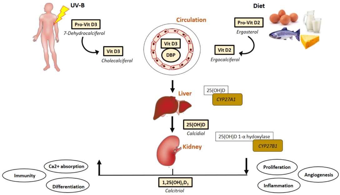 Витамин D и гипертония