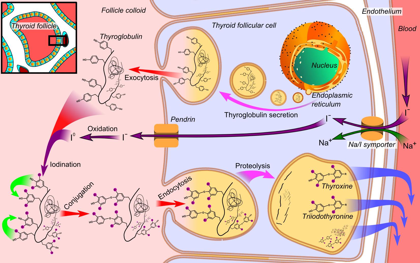 Схема синтеза гормонов щитовидной железы