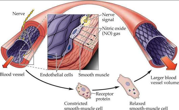 Польза оксида азота для кровеносной системы