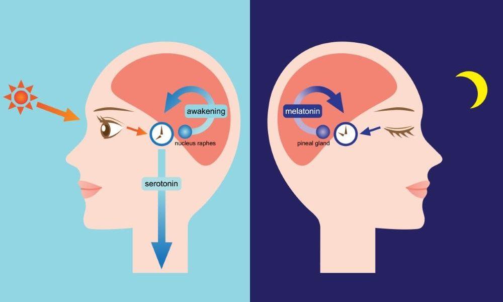 Мелатонин способствует здоровью и защищает от рака