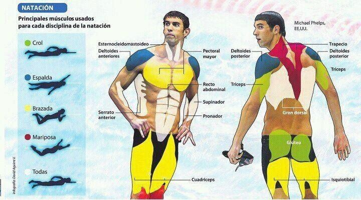 Плавание нагружает разные группы мышц