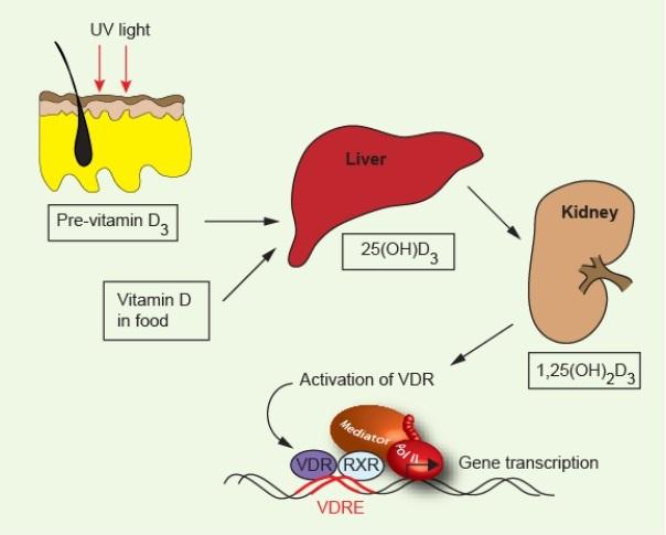 Витамин D влияет на гены