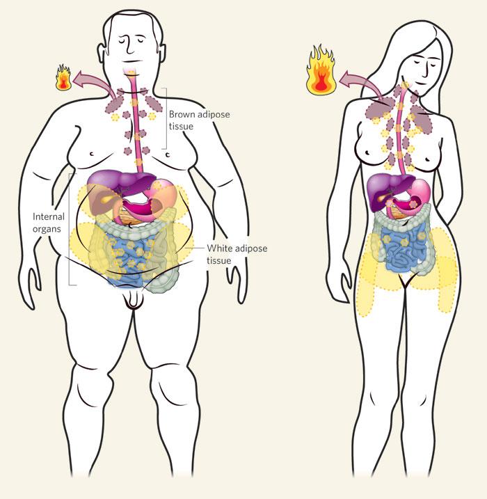 Похудение зависит от количества и активности бурого жира