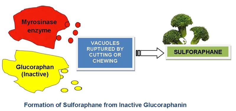 Образование сульфорафана посредством фермента мирозиназы