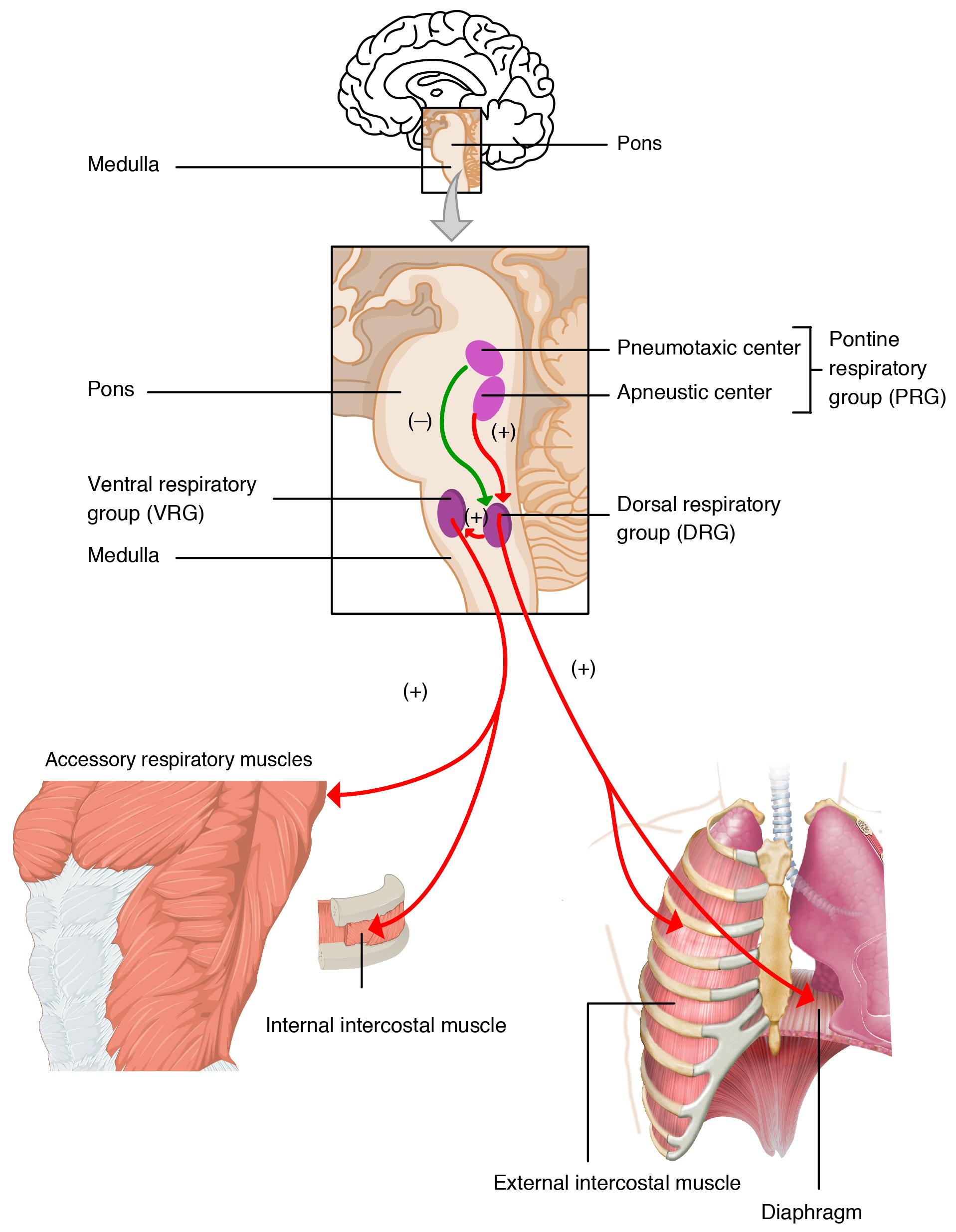 Дыхательные центры в головном мозге