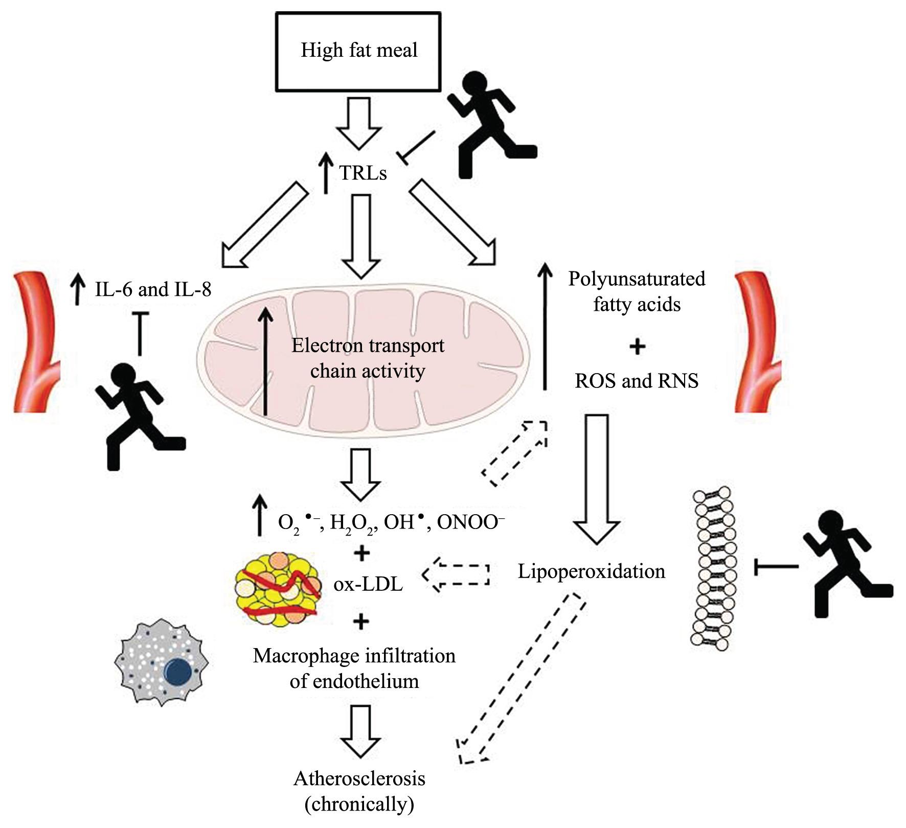 Физические упражнения снижают окислительный стресс и воспаление