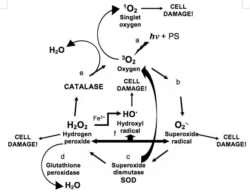 Упрощенная схема взаимодействия каталазы и перекиси водорода