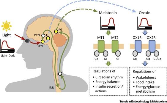 Нарушение выработки мелатонина способствует развитию диабета 2-го типа