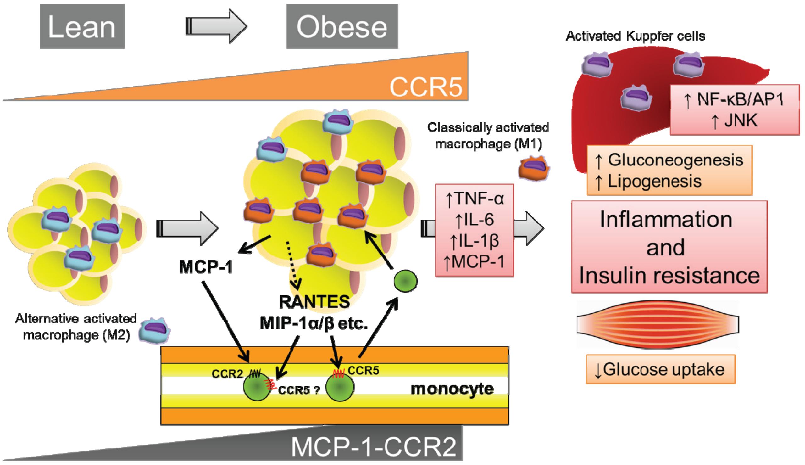 Хроническое воспаление жировой ткани приводит к резистентности к инсулину