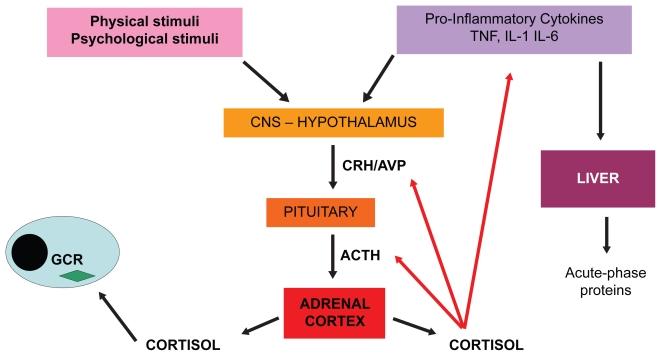 Схема гипоталамо–гипофизарно–надпочечниковой системы при реакции на стресс