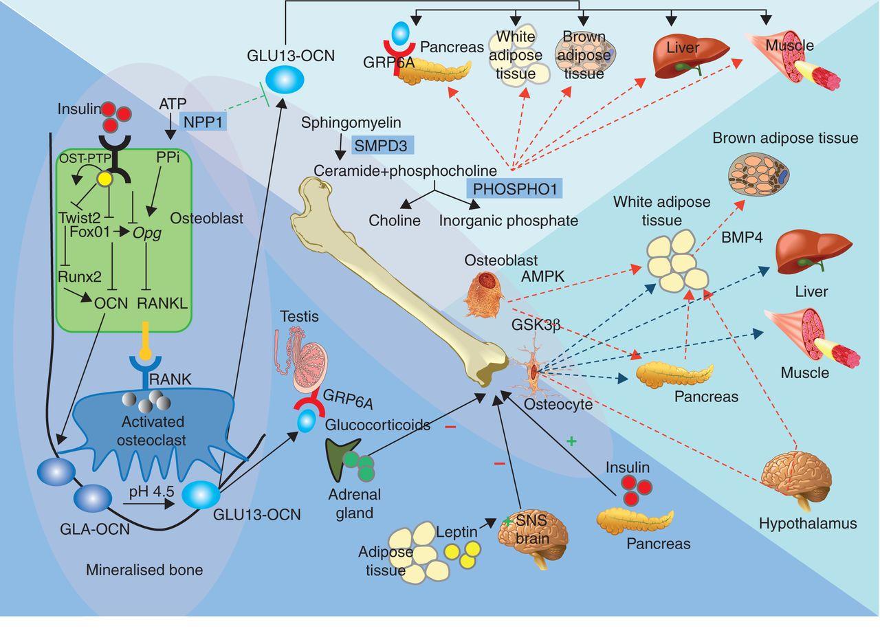 Эндокринная роль остеокальцина