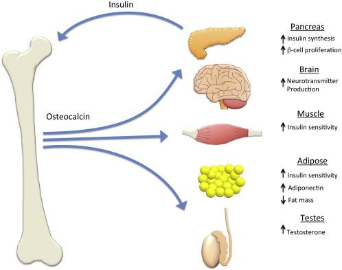 Гормональное влияние остеокальцина на обмен веществ в организме