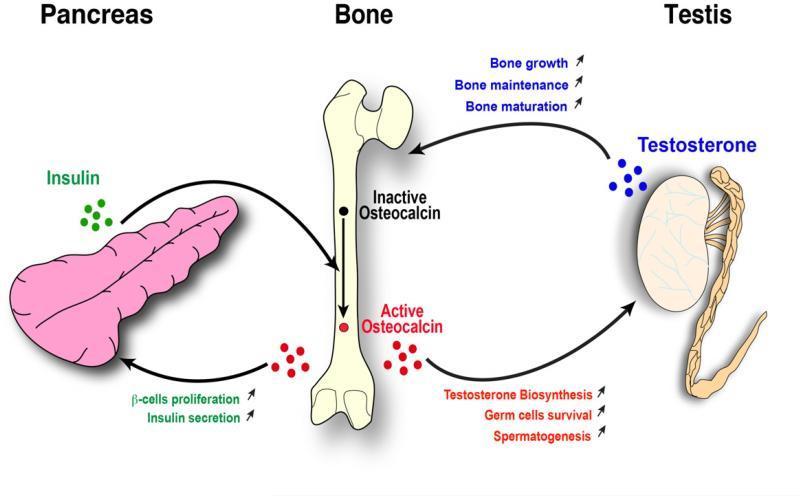 Влияние остеокальцина на инсулин и тестостерон