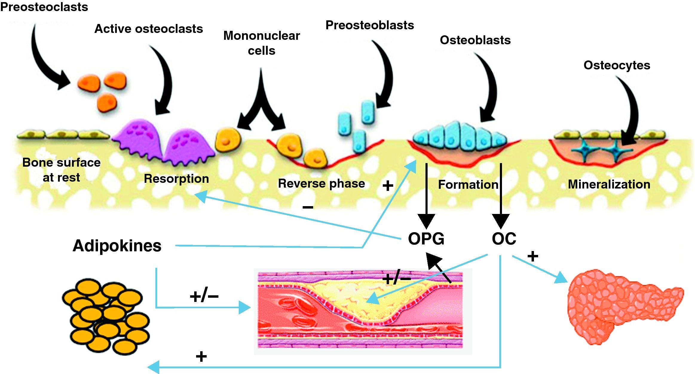 Остеокальцин и его связь с ожирением и сердечно-сосудистыми заболеваниями