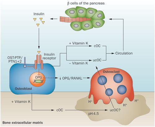 Схема взаимосвязи остеобластов и в-клеток с помощью остеокальцина