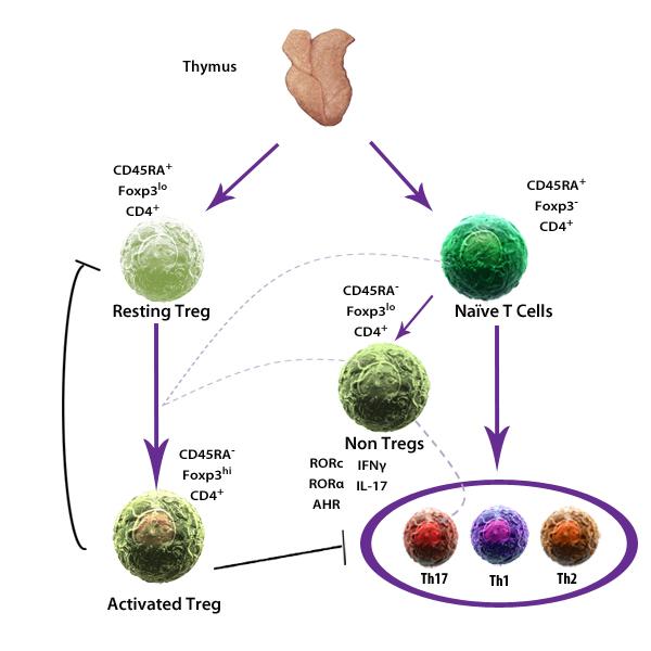 Регуляторные иммунные клетки Treg