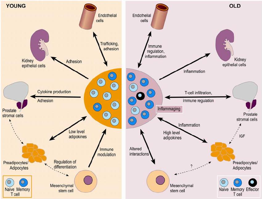 Влияние инсулиноподобного фактора роста (соматомедина-С) на различные органы при молодом и старшем возрасте.