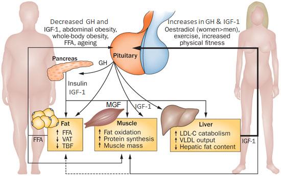 Влияние IGF-1 (соматомедина-С) на жировую ткань, мышцы и печень
