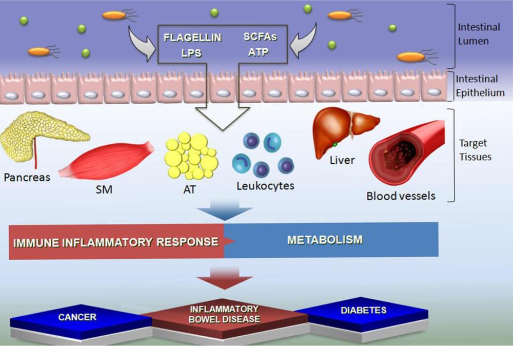 Влияние короткоцепочечных жирных кислот на организм и развитие заболеваний