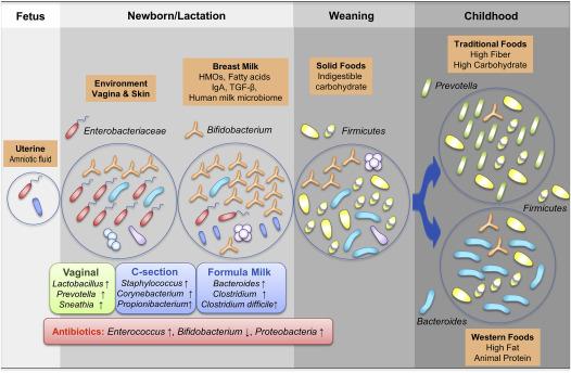 Развитие микрофлоры кишечника в младенческом возрасте и ее влияние на здоровье в более поздней жизни
