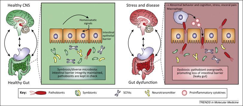Нарушение микрофлоры кишечника в детстве может привести в будущем к нарушениям работы нервной системы и мозга