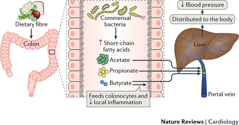 Питание и микрофлора кишечника способны регулировать артериальное давление