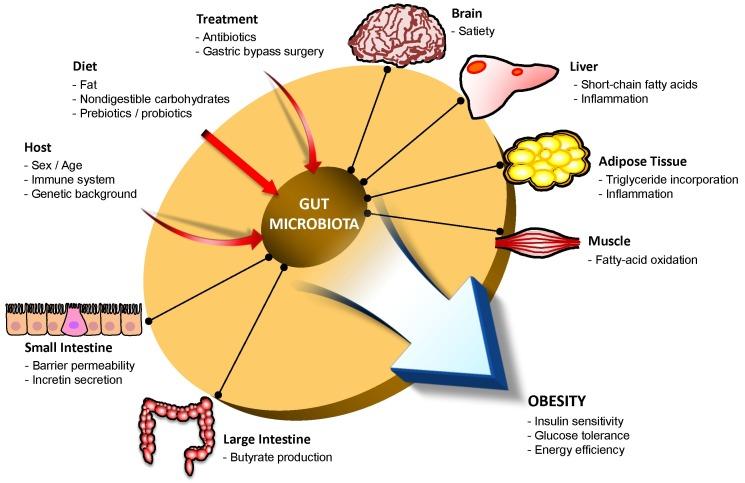 Взаимодействие между микрофлорой кишечника и метаболизмом человека