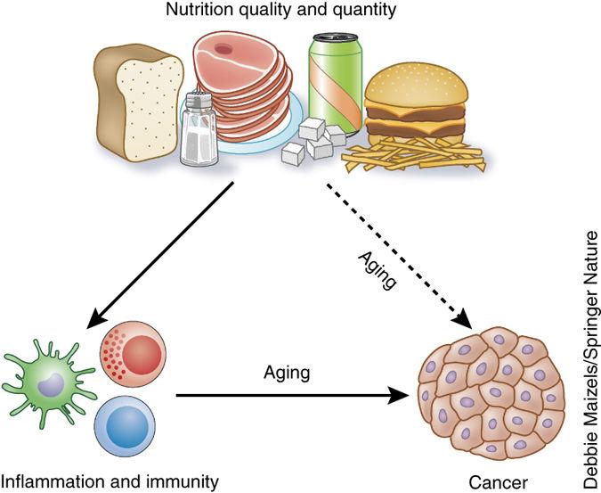 Вреднаяпища увеличивает воспаление и ускоряет старение