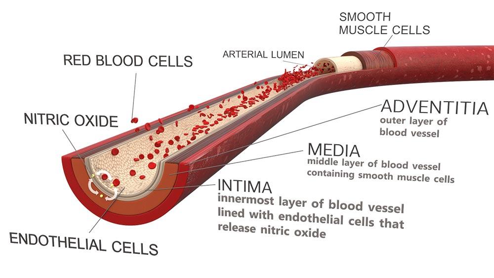 Оксид азота улучшает функцию эндотелия кровеносных сосудов