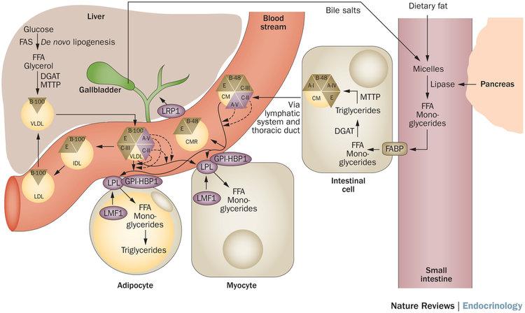 Генетическое увеличение уровня триглицеридов