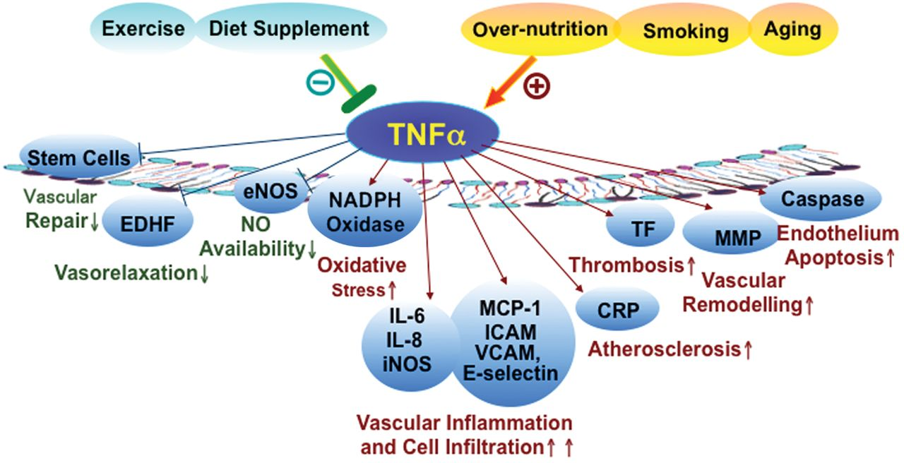 Фактор некроза опухоли-альфа (ФНО-α) увеличивает уровни С-реактивного белка (СРБ)