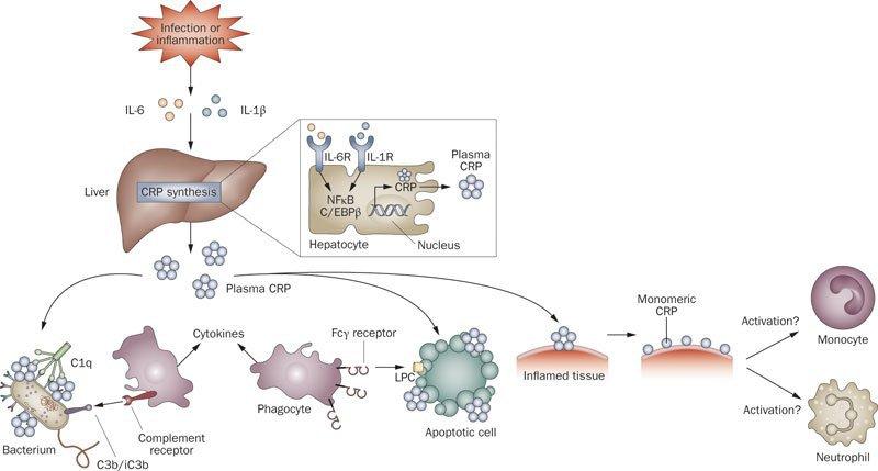 ВЫработка С-реактивного белка