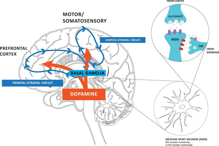 Влияние физической нагрузки на выработку дофамина