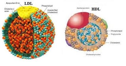 Строение ЛПВП (HDL) и ЛПНП (LDL) липопротеидов