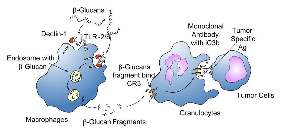 Еще одна схема, описывающая действие бета глюканов против раковых клеток