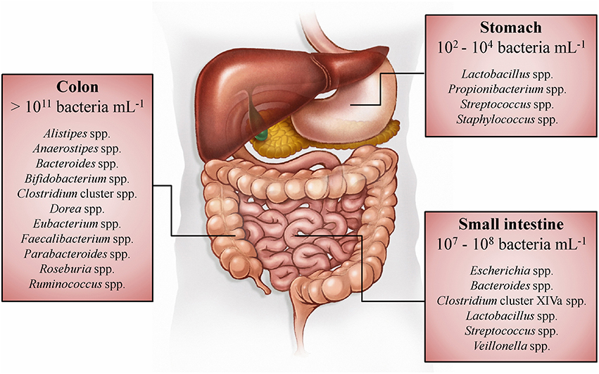 Типы бактерий микрофлоры и их количество в различных участках кишечника.