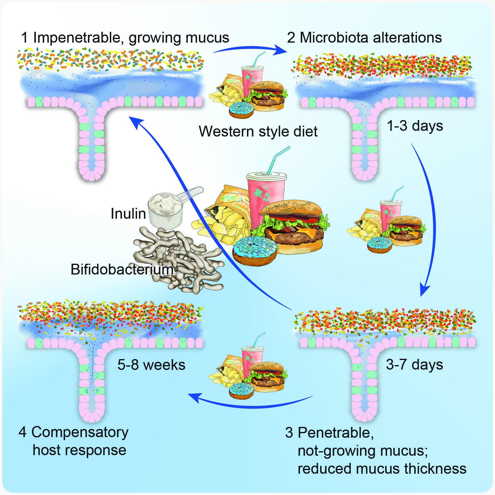 """Инулин помогает изменить в лучшую сторону микрофлору кишечника при питании """"плохой"""" пищей с низким содержанием клетчатки (Западная диета)"""