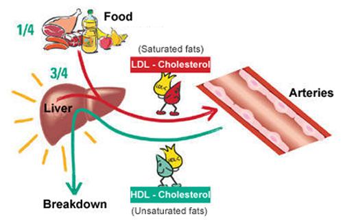 Основная задача ЛПНП (LDL) холестерина
