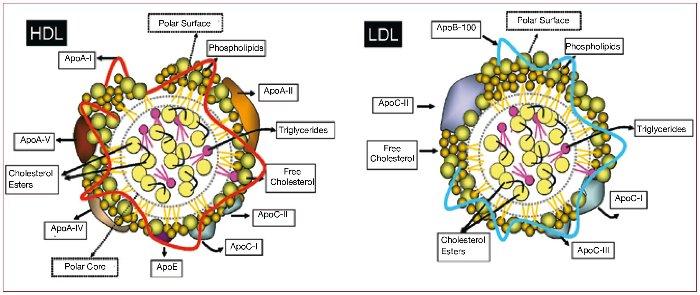Строение ЛПВП и ЛПНП холестерина