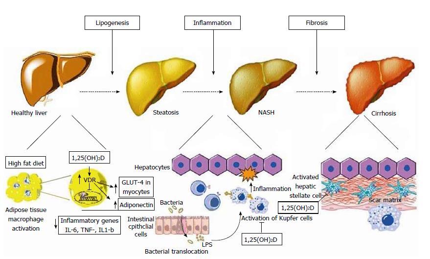 Витамин D защищает печень