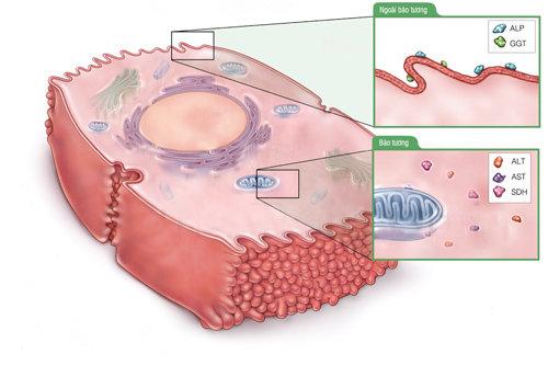Расположение АСТ и АЛТ в клетках печени