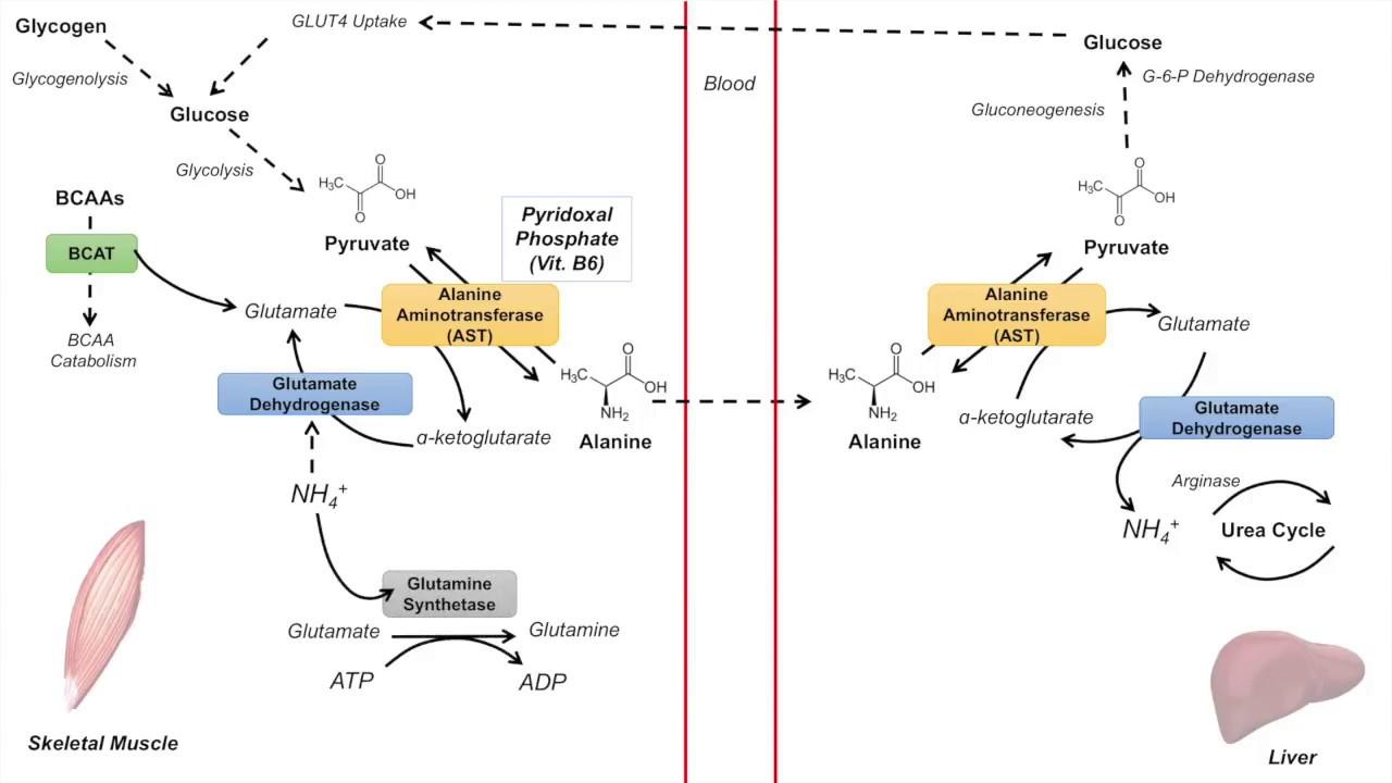 Цикл глюкоза аланина (Cahill цикл)