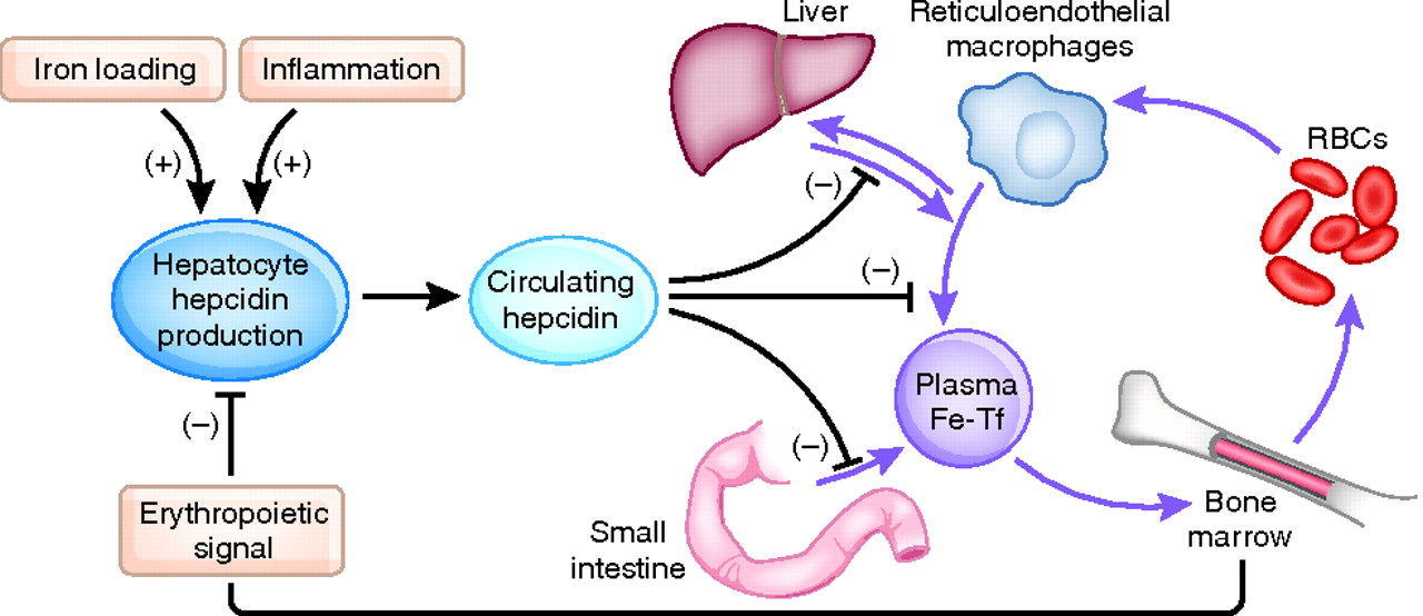 Гепсидин - регулятор железа в организме